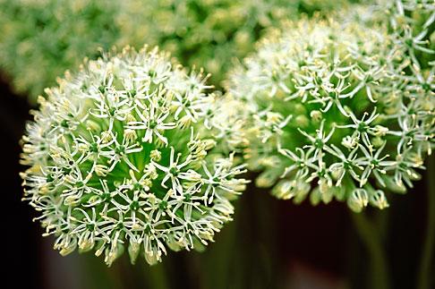 image 3-754-69 England, Chelsea Flower Show, Allium Stipitatum Album