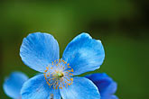 blue stock photography | England, Chelsea Flower Show, Tibetan poppy, image id 3-755-45
