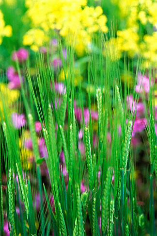 image 3-755-63 England, Chelsea Flower Show, Bonterra Organic Wine Garden, oat grass, avena sativa