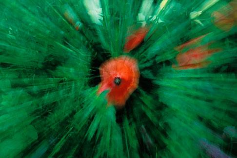 image 3-755-71 England, Chelsea Flower Show, Bonterra Organic Wine Garden, cornfield poppy papaver rhoeas