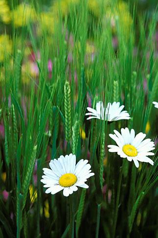 image 3-755-74 England, Chelsea Flower Show, Bonterra Organic Wine Garden, oxeye daisy, leucanthemum vulgaris