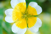 close up stock photography | England, Chelsea Flower Show, Bonterra Organic Wine Garden, poached egg plant, limnanthus douglasii, image id 3-755-77