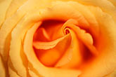 orange rose stock photography | England, Chelsea Flower Show, King