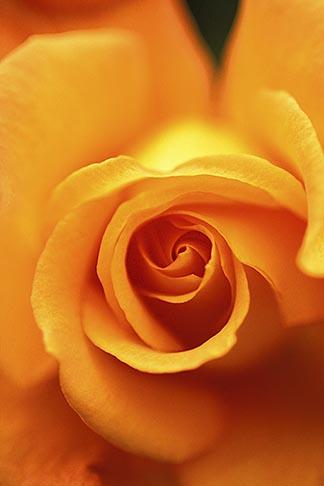 image 3-756-71 England, London, Orange rose