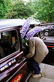 one woman only stock photography | England, Chelsea Flower Show, Women leaving the show in a taxi with a delphinium, image id 3-757-53