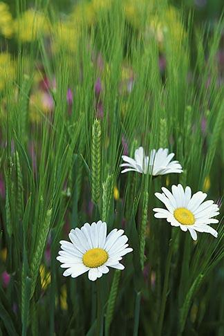 image 3-758-22 England, Chelsea Flower Show, Bonterra Organic Wine Garden, oxeye daisy, leucanthemum vulgaris