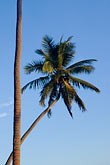 straight line stock photography | Fiji, Viti Levu, Palms, image id 5-610-2768