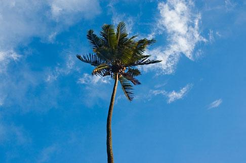 image 5-610-2773 Fiji, Viti Levu, Palm
