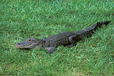 side view stock photography | Florida, Winter Haven, Cypress Gardens, Alligator, image id 2-482-76
