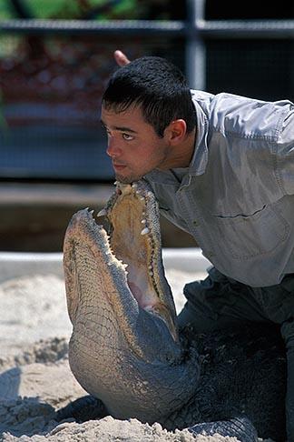 image 2-500-54 Florida, Orlando, Gatorland, Alligator wrestling
