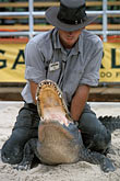 one person stock photography | Florida, Orlando, Gatorland, Alligator wrestling, image id 2-500-62
