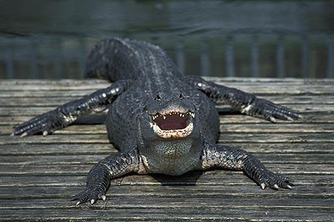 image 2-501-18 Florida, Orlando, Gatorland, Alligator