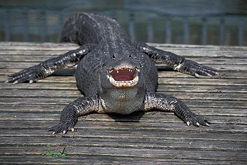 image 2-501-19 Florida, Orlando, Gatorland, Alligator