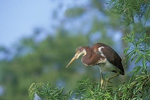 image 2-501-21 Florida, Orlando, Tricolored Heron Egretta tricolor