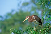 ornithology stock photography | Florida, Orlando, Tricolored Heron (Egretta tricolor ), image id 2-501-21