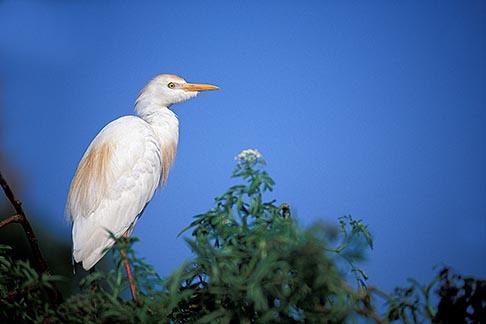 image 2-501-26 Birds, Cattle Egret Bubulcus ibis