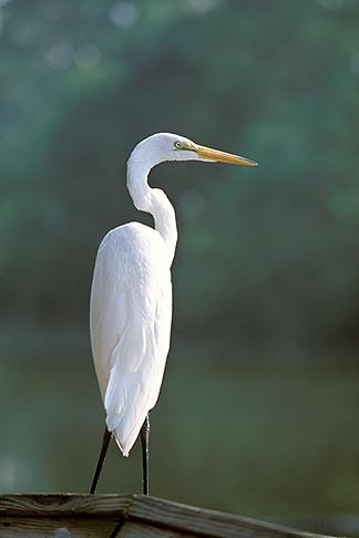image 2-501-37 Florida, Orlando, Egret