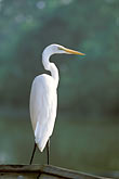 wild animal stock photography | Florida, Orlando, Egret, image id 2-501-37