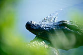 hazard stock photography | Florida, Orlando, Alligator, image id 2-501-48