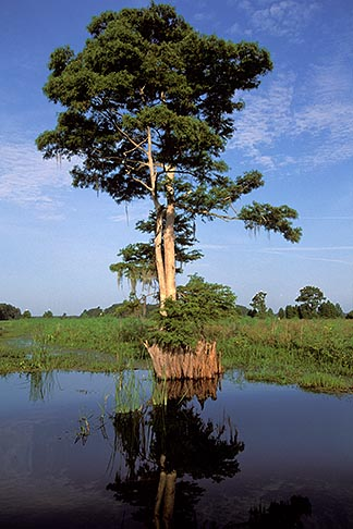 image 2-502-14 Florida, Orlando, Cypress Lake, Cypress Tree