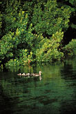 nobody stock photography | Florida, Tallahassee area, Wakulla Springs State Park, Wood duck with ducklings, image id 2-530-91