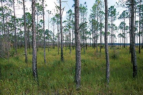 image 2-531-21 Florida, Gulf Coast, Steinhatchee, Pine forest
