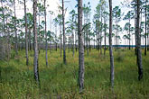 landscape stock photography | Florida, Gulf Coast, Steinhatchee, Pine forest, image id 2-531-21