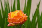 horizontal stock photography | Flowers, Orange rose with dewdrops, image id 6-470-8302