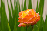 horizontal stock photography | Flowers, Orange rose with dewdrops, image id 6-470-8303
