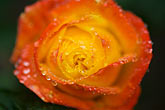 horizontal stock photography | Flowers, Orange rose with dewdrops, image id 6-470-8313