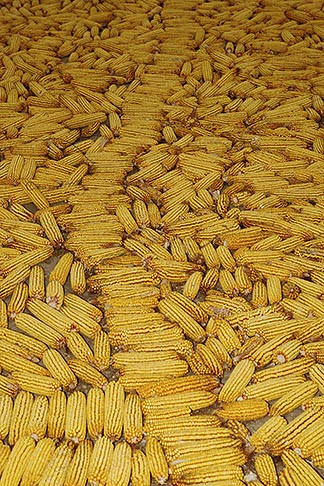 image 4-408-5 Still life, Yellow corn drying