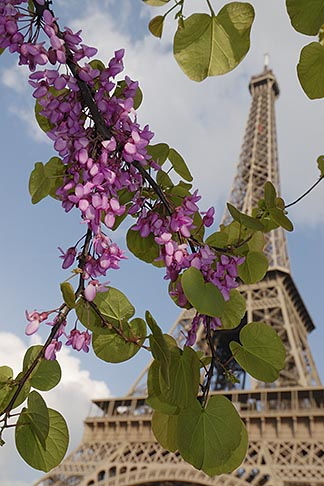 image 6-450-299 France, Paris, Eiffel Tower and blossoms