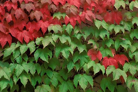 image 5-558-23 Germany, Frankfurt, Ivy on wall