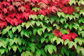 red leaves stock photography | Germany, Frankfurt, Ivy on wall, image id 5-558-23