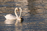 two swans stock photography | German, Frankfurt, Two swans, image id 8-710-1320