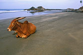 sacred cow stock photography | India, Goa, Vagator Beach, image id 0-605-52