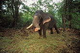 wildlife stock photography | India, Goa, Elephant, Bhagwan Mahaveer Sanctuary, image id 0-612-51