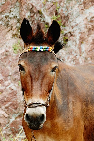 image 7-640-5607 Greece, Hydra, Donkey, frontal view of head, with volroed fabric harness