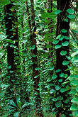 green leaf stock photography | Hawaii, Maui, Philodendron & trees, Waikamoi Ridge, image id 4-37-3