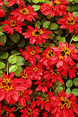 colour stock photography | Flowers, Poinsettia , image id 4-56-11