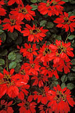 colour stock photography | Hawaii, Maui, Poinsettia bush, Makawao, image id 4-56-16