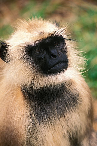 image 7-300-2 Animals, Langur