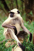 park stock photography | Animals, Langur, seated, image id 7-300-7
