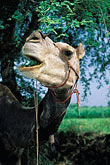 domestic animal stock photography | India, Rajasthan, Camel feeding on treetops, image id 7-312-9