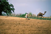 horizontal stock photography | India, Rajasthan, Man plowing field with camel, image id 7-350-5