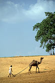 people stock photography | India, Rajasthan, Man plowing field with camel, image id 7-353-30