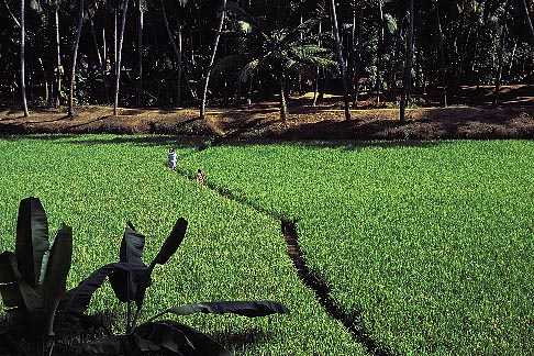 image 7-80-15 India, Kerala, Women walking in rice paddies