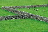 diagonal stock photography | Ireland, County Galway, Sheep in field with stone walls, image id 4-752-47