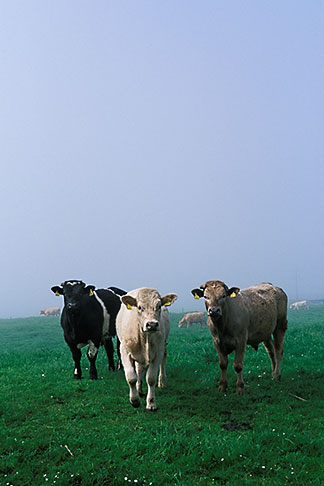 image 4-753-50 Ireland, County Louth, Curious cattle