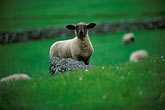 stone wall stock photography | Ireland, Fermanagh, Sheep, image id 4-753-55